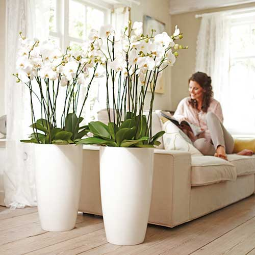 orquideas grandes do lado do sofa
