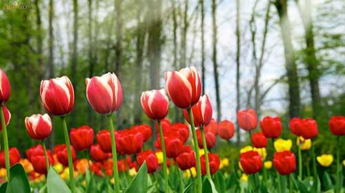 tulipas em cores diferentes
